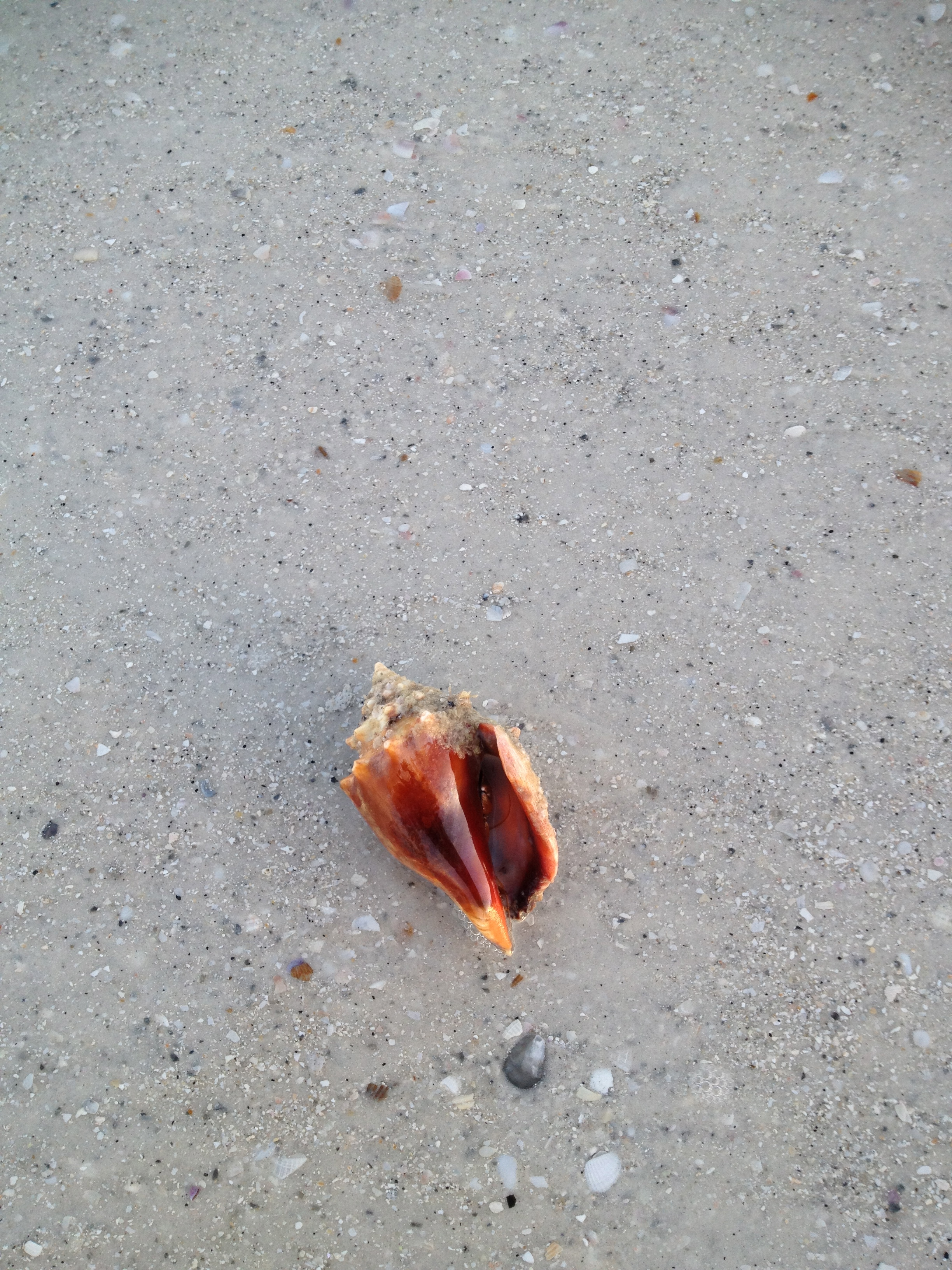 Clearwater Beach North of the Pier. Shell with Crab