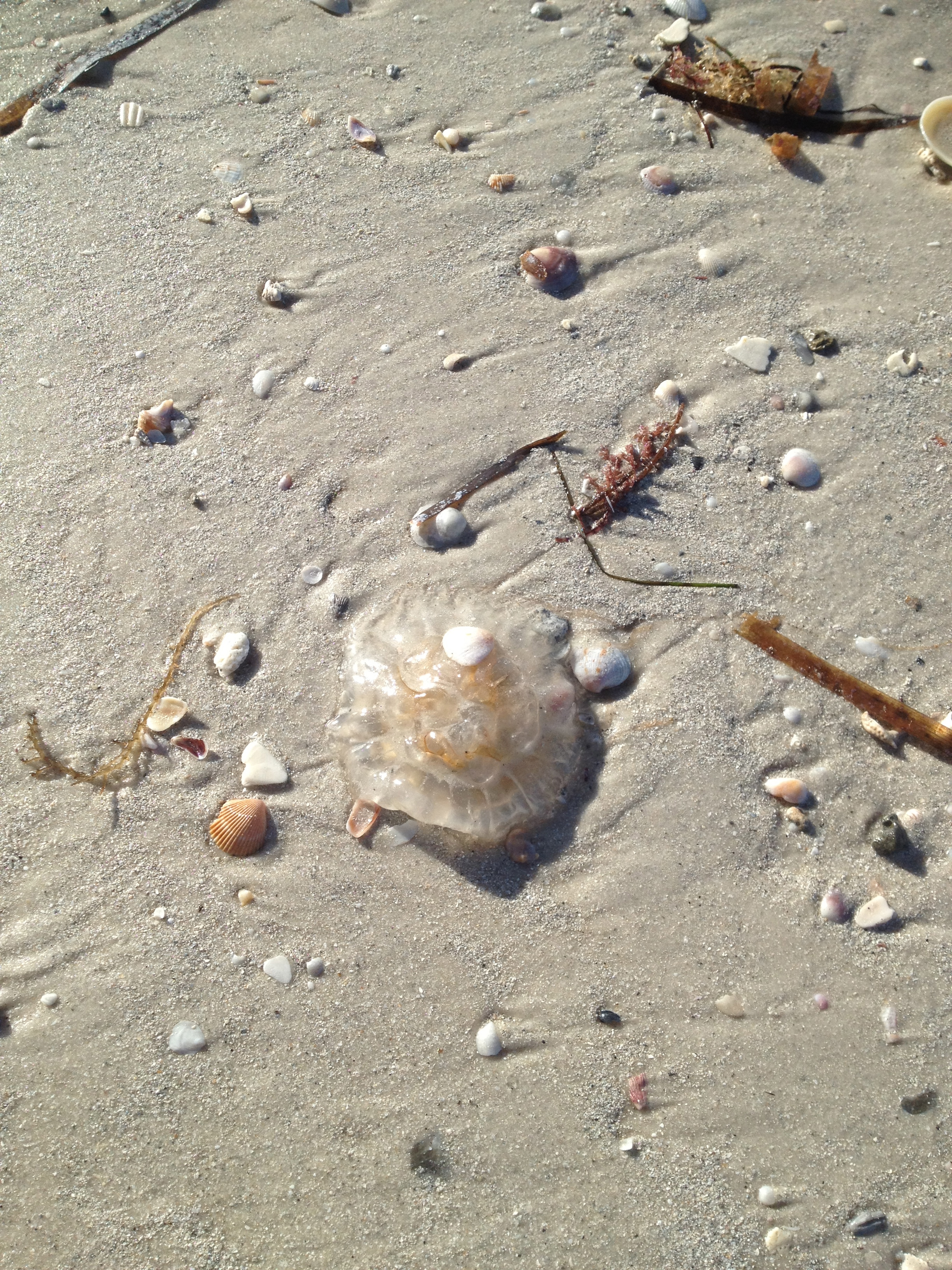 Clearwater Beach North of the Pier. Jelly Fish