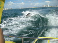 Dolphin jumping the waves behind the Sreamer(speedboat) off Clearwater Beach