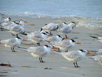 GULLS ON CLEARWATER BEACH